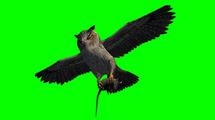 Owl in fly with gray rat in the claw - seperated on green screen