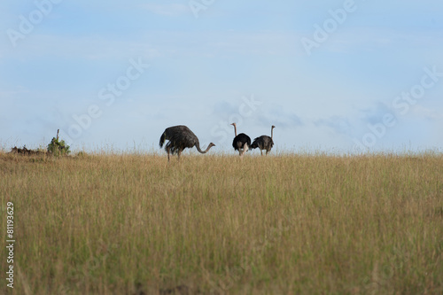Foto op Canvas Struisvogel birds in the Masai Mara