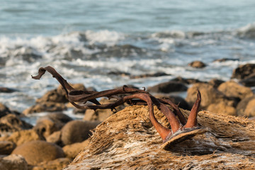 close up of kelp drying on driftwood