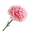Pink Carnation Flower - 81194615