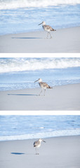 Willet on the Beach in Early Morning Light
