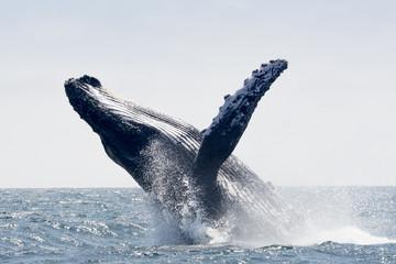Humpback Whale jumping in Puerto Lopez, Ecuador © NoraDoa