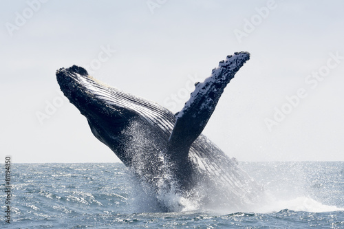 Humpback Whale jumping in Puerto Lopez, Ecuador - 81194850