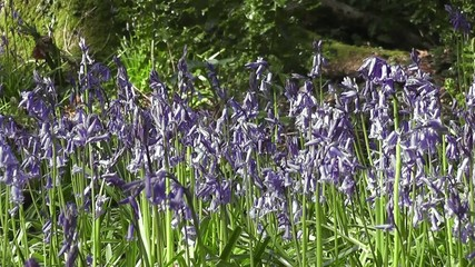 Wildflower Bluebells Flowering in Spring Woodland