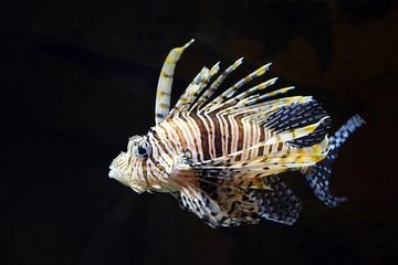 Flying lionfish (Pterois volitans) underwater. Closeup view