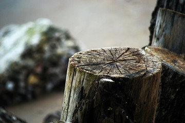 Old stumps of pine cuttings