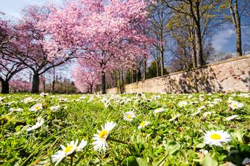 Frühlingserwachen: Park mit Kirschbäumen und Gänseblümchen :)