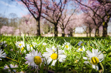 Springtime: Japanese cherry blossoms and daisies