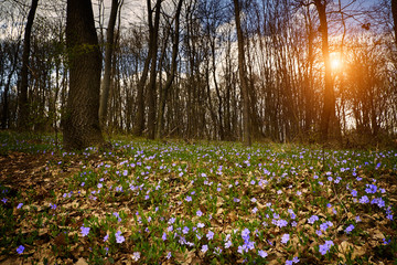 Blue flowers on spring forest