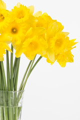 Bright yellow spring daffodils arranged in vase
