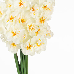 White and orange narcissus close up