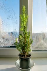 Evergreen tree in the pot on windowsill
