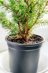 Closeup of the evergreen tree in the pot