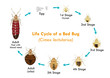 Bed Bug Life Cycle Vector Illustration - 81201495