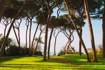 Maritime Pine tree group. Baratti, Tuscany.