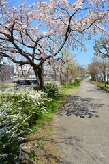 桜の京都市内