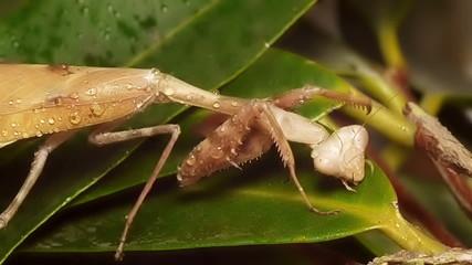 Mantis Drinking Rain Water