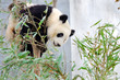 Giant Panda Sitting in the Tree