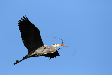 Great Blue Heron Carrying a Stick for Nest