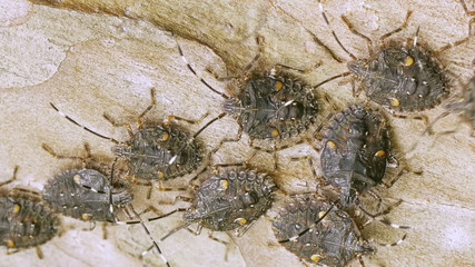 Shield bugs from south America