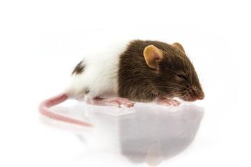 Fancy mice or Rat