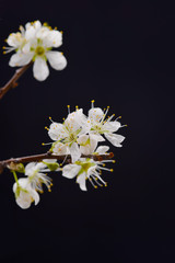 cherry blossom sakura on black background