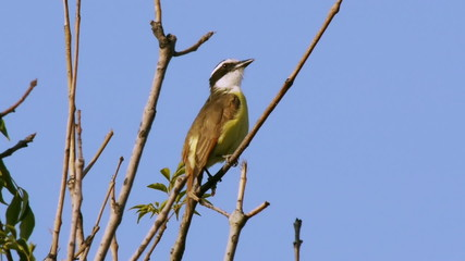 Kiskadee Flycatcher Bird