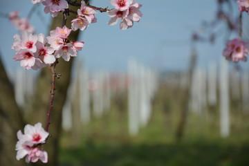 Frühjahrsboote - Mandelblüte in der Pfalz