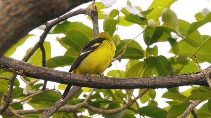 Western Tanager Bird