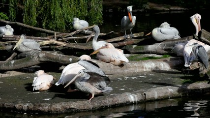 Big pack of pelicans on an island against green leaves