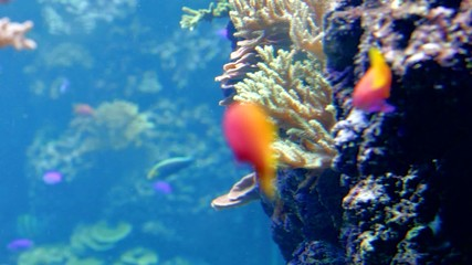 reef fish swim peacefully among corals in background of sea anem