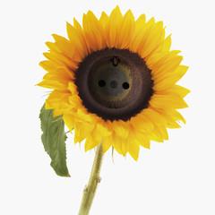 Sockel in der Sonnenblume gegen weißen Hintergrund