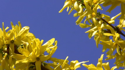 Yellow spring blossoms on blue background