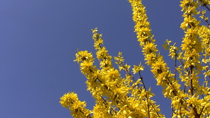 Yellow spring flowers isolated on blue
