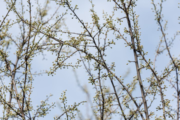 Tree Buds In Spring Time