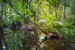 Wild tropical forest landscape with mangrove trees