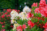Blossoming of red and yellow rhododendrons and azaleas