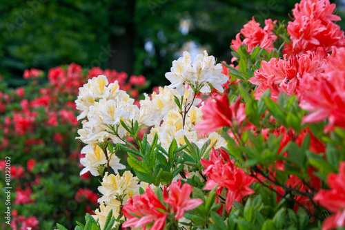Tuinposter Azalea Blossoming of red and yellow rhododendrons and azaleas
