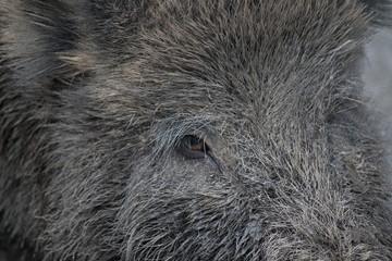 Wildschwein - Auge