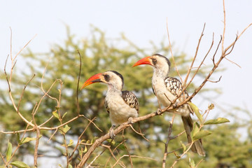 Couple of Tanzanian Red-billed Hornbills