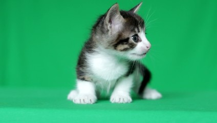 cute kitten meowing on a green screen, close-up, chroma key