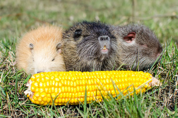 Нутрии кушают кукурузу