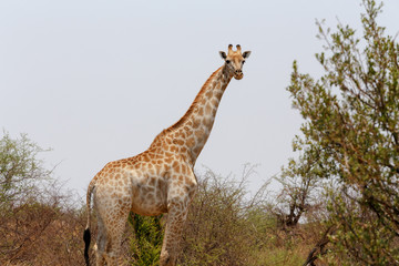 Giraffa camelopardalis in national park, Hwankee