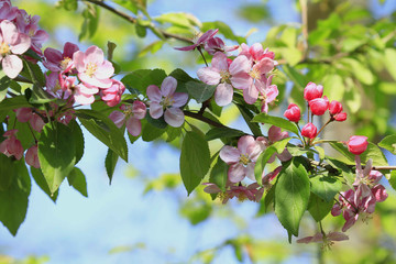 Apfelblüte, Blütenpracht