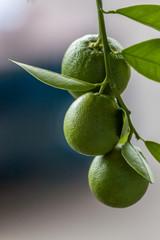 Three limes