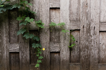 Small Yellow Flower on Old Wooden Teak Wall