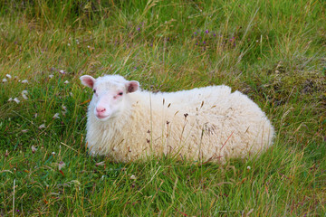 The sheep resting