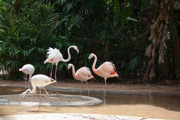 The  Andean flamingos
