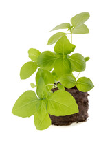 Basil seedling isolated on white background
