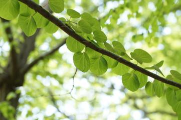 新緑のカツラの葉